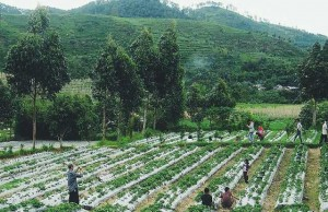 Kebun Strawberry di Desa Tuwel, Bojong, Kab. Tegal