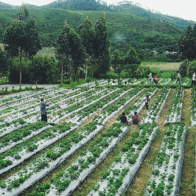 Kebun Strawberry di Desa Tuwel, Bojong, Kab. Tegal